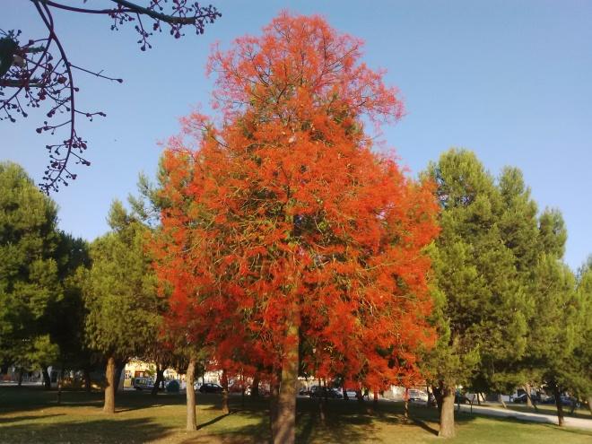 Brachychiton acerifolius, o árbol de fuego, en el Parque de Puertas del Sur. Sólo florece en nuestra zona cuando los inviernos son particularmente secos. Fotografía hecha el 18 de mayo de 2014. ¿Tendremos suerte este año de verle florecer?